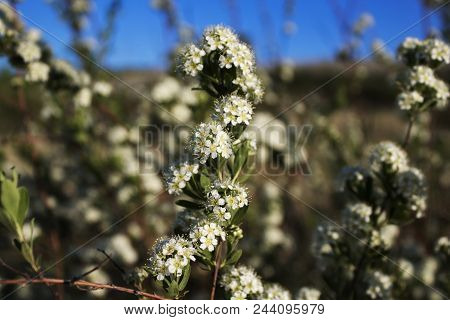 White blossom of Spiraea canescens shrub, selective focus. Flowers of blooming spirea vanhouttei on a Sunny day. Meadow. Field plants.