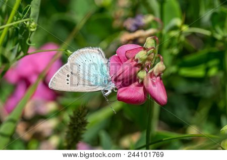 Summer Scene With  Wild Sweet Pea Flower And Common Blue (polyommatus Icarus) Butterfly Sucking Nect