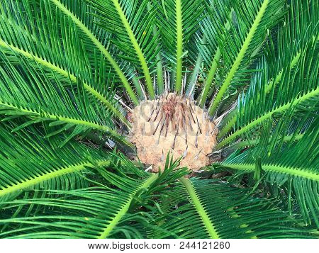 Top View Of Green Fresh Cycad, Background And Texture