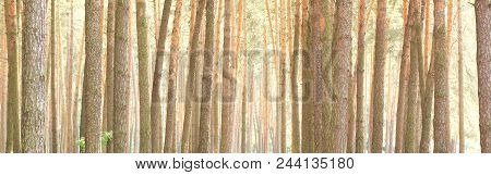 Beautiful Brown Pine Trees In Pine Forest Among Other Pines