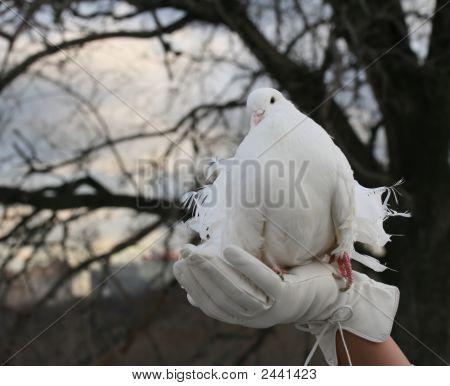 Wedding Pigeon