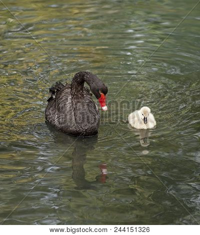 Black Swan In A Forest Lake With Small Swans.