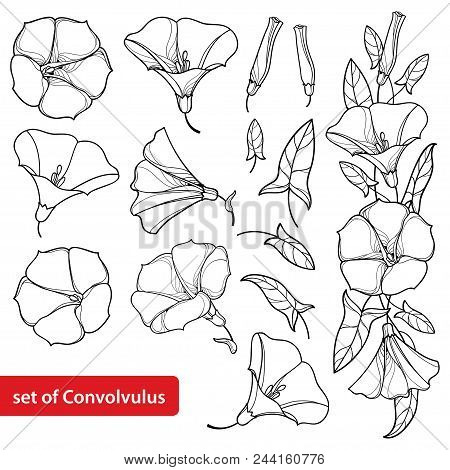 Vector Set With Outline Convolvulus Or Bindweed Flower Bell, Bunch, Leaf And Bud In Black Isolated O