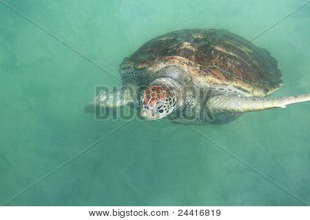 Single Sea Turtle