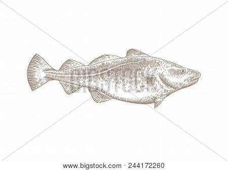 Drawing Of Isolated Live Codfish On The White