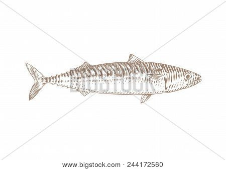 Drawing Of Live Mackerel On The White Background