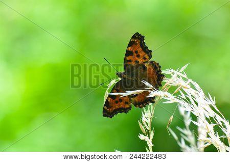 The Large Tortoiseshell Or Blackleg Tortoiseshell Butterfly(nymphalis Polychloros). Beautiful Large