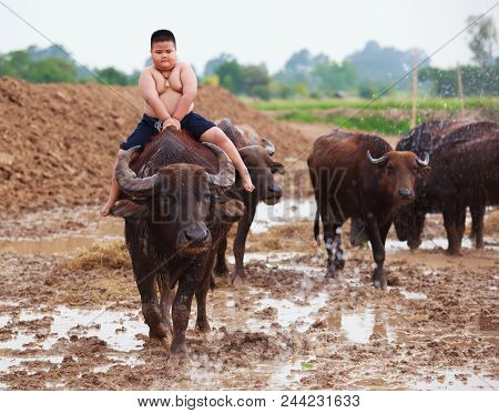 Thailand Rural Traditional Scene, Thai farmer shepherd boy is riding a buffalo, tending buffaloes herd to go back farmhouse. Thai Upcountry Culture, Living, Occupation concept. poster