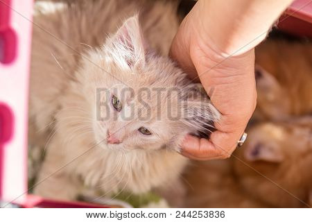 Happy Little Red Kitten Likes Being Stroked By Woman's Hand