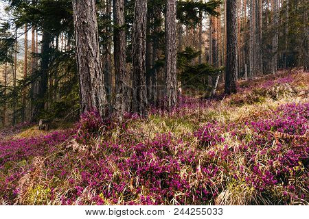 Flowers Carpet In Pine Forest. Mist In Pine Forest In Springtime. Pine Forest And Colorful Flowers C