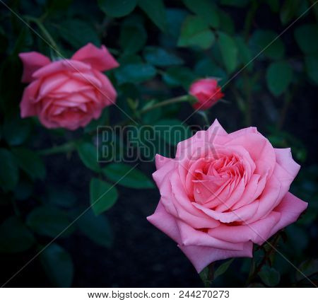 Closeup Of  Beautiful Pink Roses In Green Environment