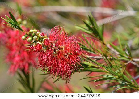Scarlet Bottlebrush Flowers - Latin Name - Callistemon Coccineus F. Muell. Also Known As  Melaleuca