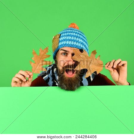 Man In Hat Holds Oak Tree Leaves On Green Background, Copy Space. Hipster With Beard And Interested
