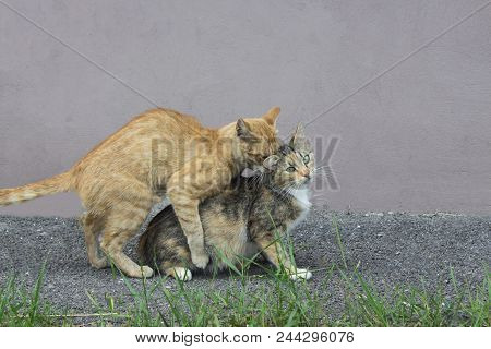 Beautiful Curious Scottish Wildcat Having Sex. Three-colored Or Tortoise Cat Make Love And Kittens.