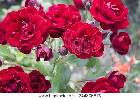 Beautiful Rose Flower In Garden. Rose Flower Background. Roses Flower Texture. Lovely Rose. Roses In