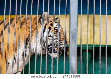 Wild Tiger Portret Trapped Betweencage Bars.tiger In A Cage.