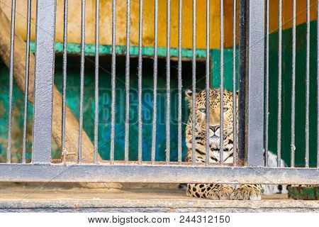 Sorrowful Cheetah Looking From The Cage.cheetah In The Cage.