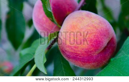 Delicious Peaches On A Tree, Close Up. Peach Tree With Harvest, Macro View. Natural Backdrop.
