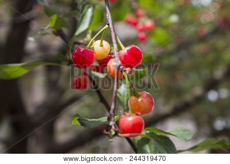 Cherries Hanging On A Cherry Tree Branch. Red And Sweet Cherries On A Branch. Branch With Cherries