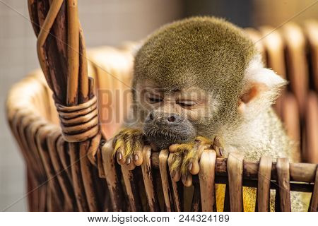 Common Squirrel Monkey, Saimiri Sciureus, Is Leaning Out Of A Basket. The Little Monkey Has Cute Fin