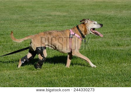 Happy Active Dog With Two Orthotic Braces From Ccl Injuries Excited To Be Out Walking In Field Of Gr