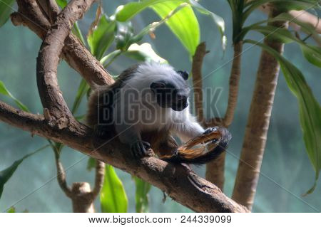 Pied Tamarin Saguinus Bicolor Monkey On A Tree Branch Black And White Fur