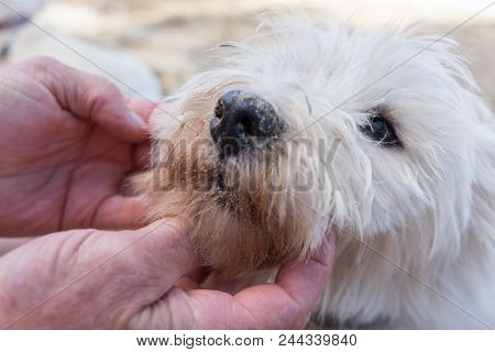Close Up Of Older Male Hands Inspecting The Face Of A Dirty West Highland White Terrier Dog - Nose