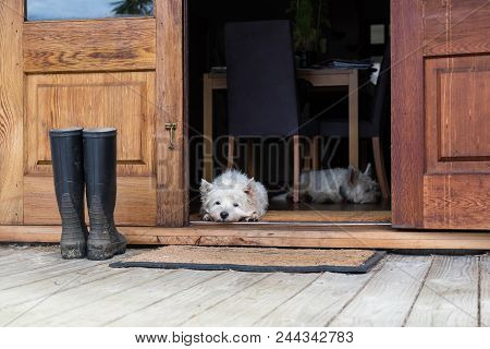 Two Bored Westies Inside A Farmhouse, Laying On The Floor By A Door Looking Outside - Landscape Orie