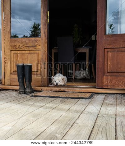 Two Bored Westies Inside A Farmhouse, Laying On The Floor By A Door Looking Outside - Photographed I