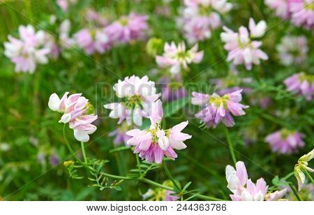 blooming crown vetches in a green meadow poster