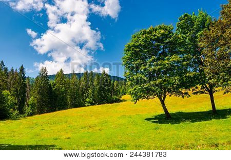 Trees On The Grassy Meadow In Summer. Beautiful Landscape With Spruce Forest And Mountain In The Dis