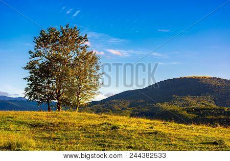 Few Trees On The Grassy Hillside At Sunset In Golden Light. Beautiful Landscape Of Carpathian Mounta