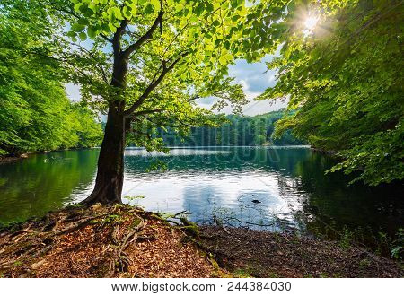 Old Beech Tree On The Shore Of Morske Oko Lake In Sunburst. Beautiful Vihorlat Landscape Of Slovakia