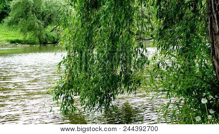 Summer. Quiet Pond. Precise Branches Of Willows Are Reflected In The Dark Water.