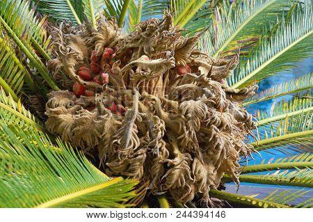 Ornamental Palm Cycas Revoluta (sago Palm, King Sago, Sago Cycad).  Leaves And Female Cone With Seed