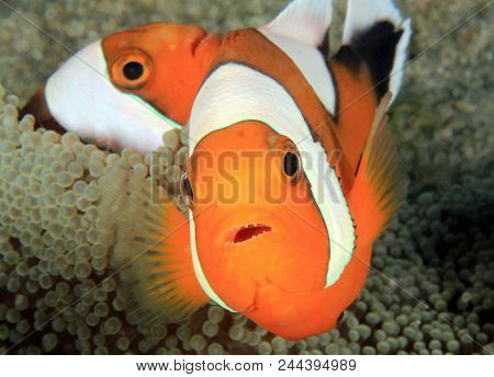 Saddleback Anemonefish (aka Saddleback Clownfish, Panda Anemonefish, Amphiprion Polymnus) In An Anem