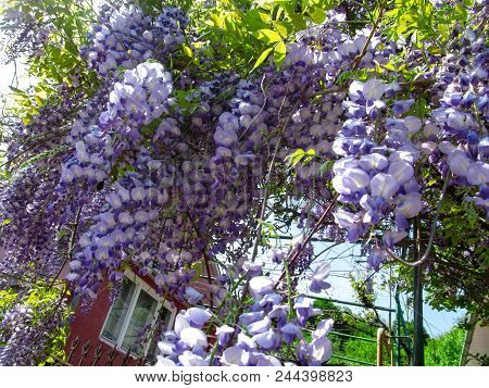 Bright Floral Background Of Blue-purple Large Flowers Of Wisteria. Decorative Climbing Plant With La