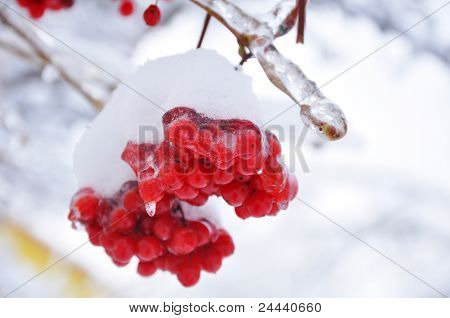 Iced Bunch Of Viburnum