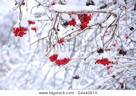 Snow Covered Viburnum