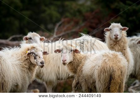A Group Of Sheep Standing On A Pasture (island Cres, Croatia)