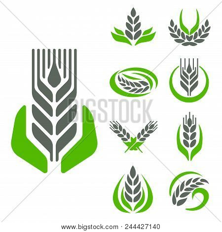 Cereal Ears And Grains Set For Agriculture Industry Or Logo Badge Design Vector Food Illustration Or