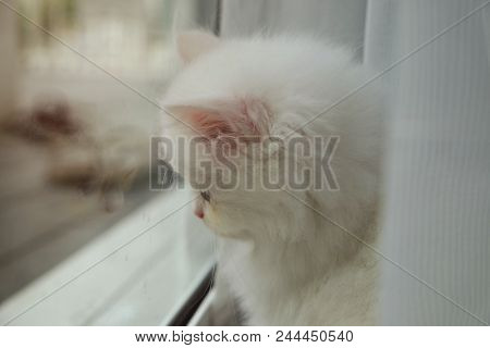 Adorable Pure White Persian Cat Sitting Behind The Curtain With The Reflection In The Glass Sliding