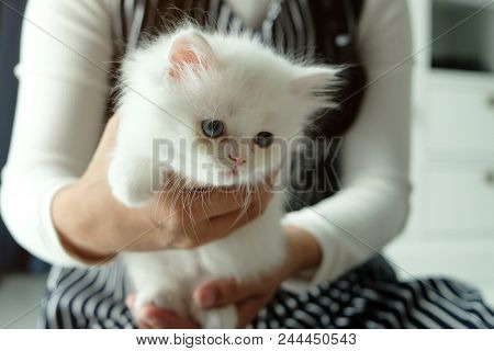 Asian Girl Holding And Giving Adorable Pure White With Odd Different Blue And Green Eyes Persian Cat