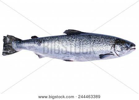 Salmon Fish Isolated On White Background. Fresh Wild Salmon Isolated On A White. Fresh Whole Salmon.