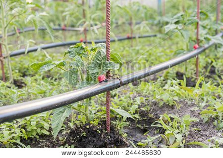 Drip Irrigation On The Bed. Seedlings Of Tomato Prepared For Planting On Beds With Drip Irrigation.