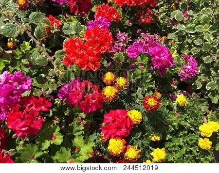 Geranium Pelargonium Flowers Color Images Stock Photos