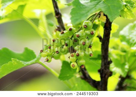 Immature, Green Currant Berries On The Bush. Young Berries Of Red Currant. Not Ripe Red Currant In D