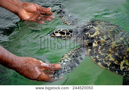 The Rescued Tortoise Holds Its Flippers With Human Hands  . Sea Turtles Conservation Research Projec