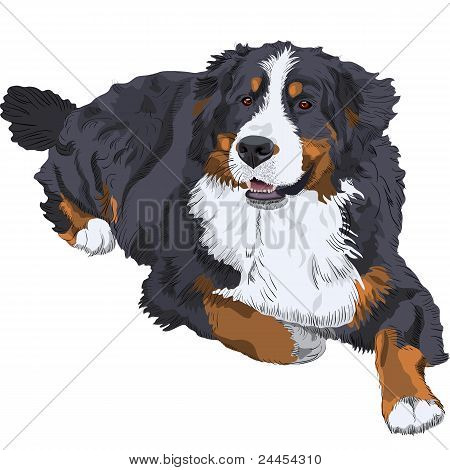 color sketch of a close-up dog breed Bernese Mountain Dog lying poster