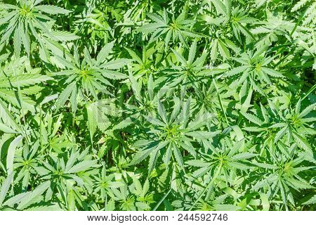 Top View Of The Leaves And Stems Of Young Wild-growing Cannabis Ruderalis